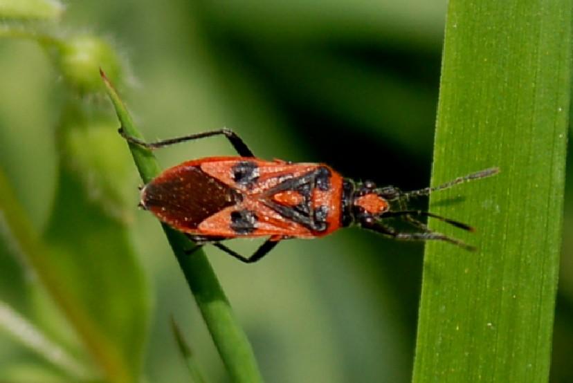Corizus hyoscyami - Rhopalidae
