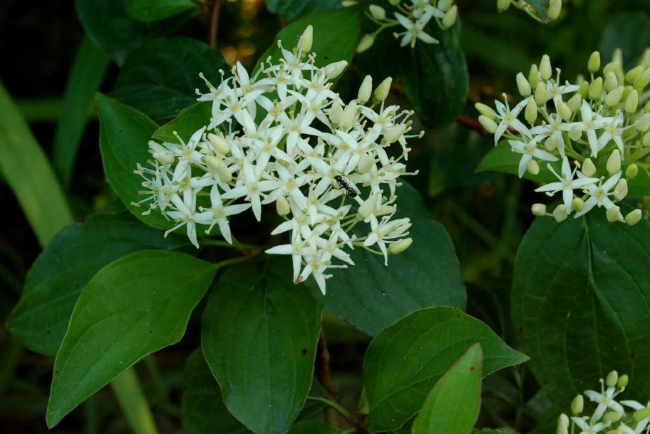 Cornus sanguinea subsp. sanguinea
