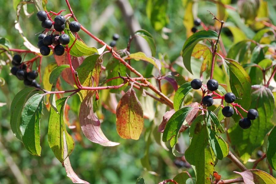 Cornus sanguinea subsp. sanguinea 10