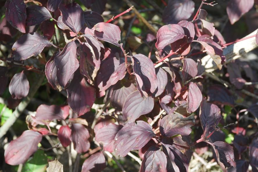 Cornus sanguinea subsp. sanguinea 12