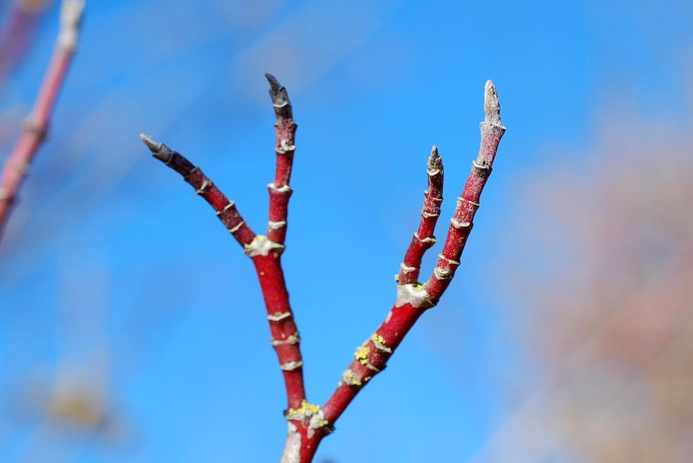 Cornus sanguinea subsp. sanguinea 15