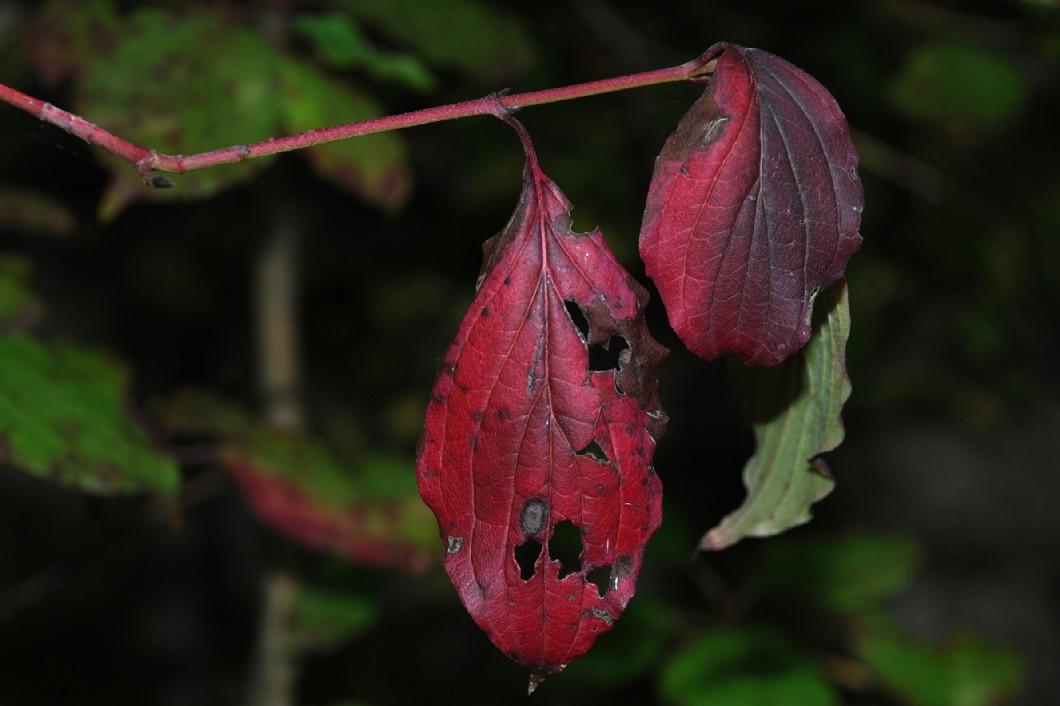 Cornus sanguinea subsp. sanguinea 2