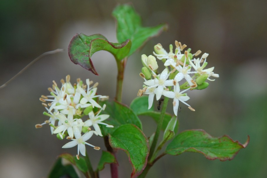 Cornus sanguinea subsp. sanguinea 4
