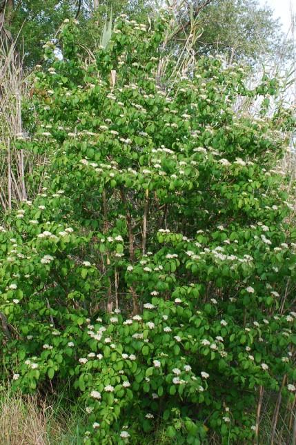 Cornus sanguinea subsp. sanguinea 6