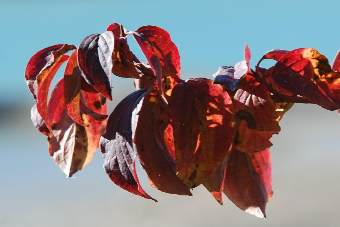 Cornus sanguinea subsp. sanguinea 8