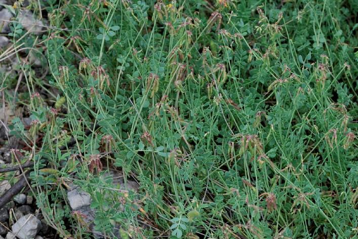 Coronilla minima subsp. minima 12