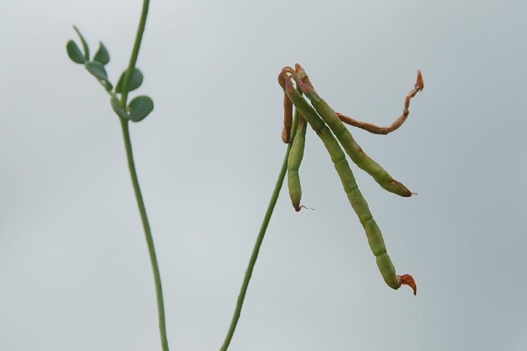 Coronilla minima subsp. minima 13