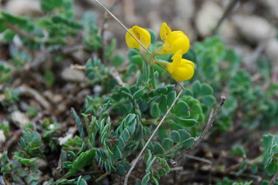Coronilla minima subsp. minima 5
