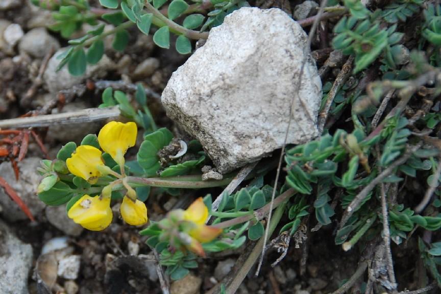 Coronilla minima subsp. minima 6