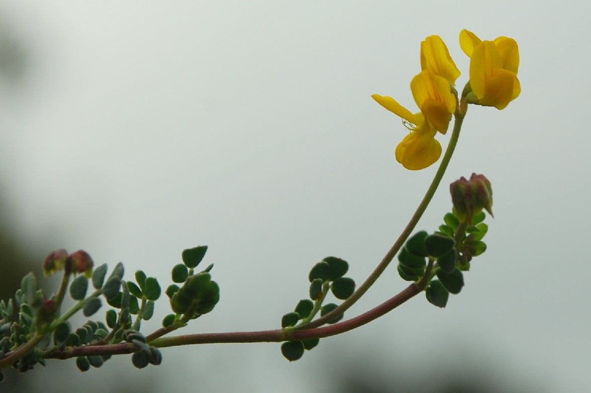 Coronilla minima subsp. minima 7