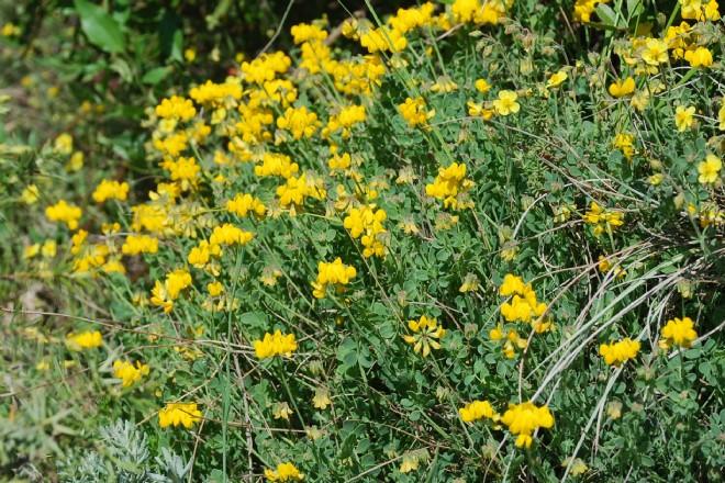 Coronilla minima subsp. minima 9