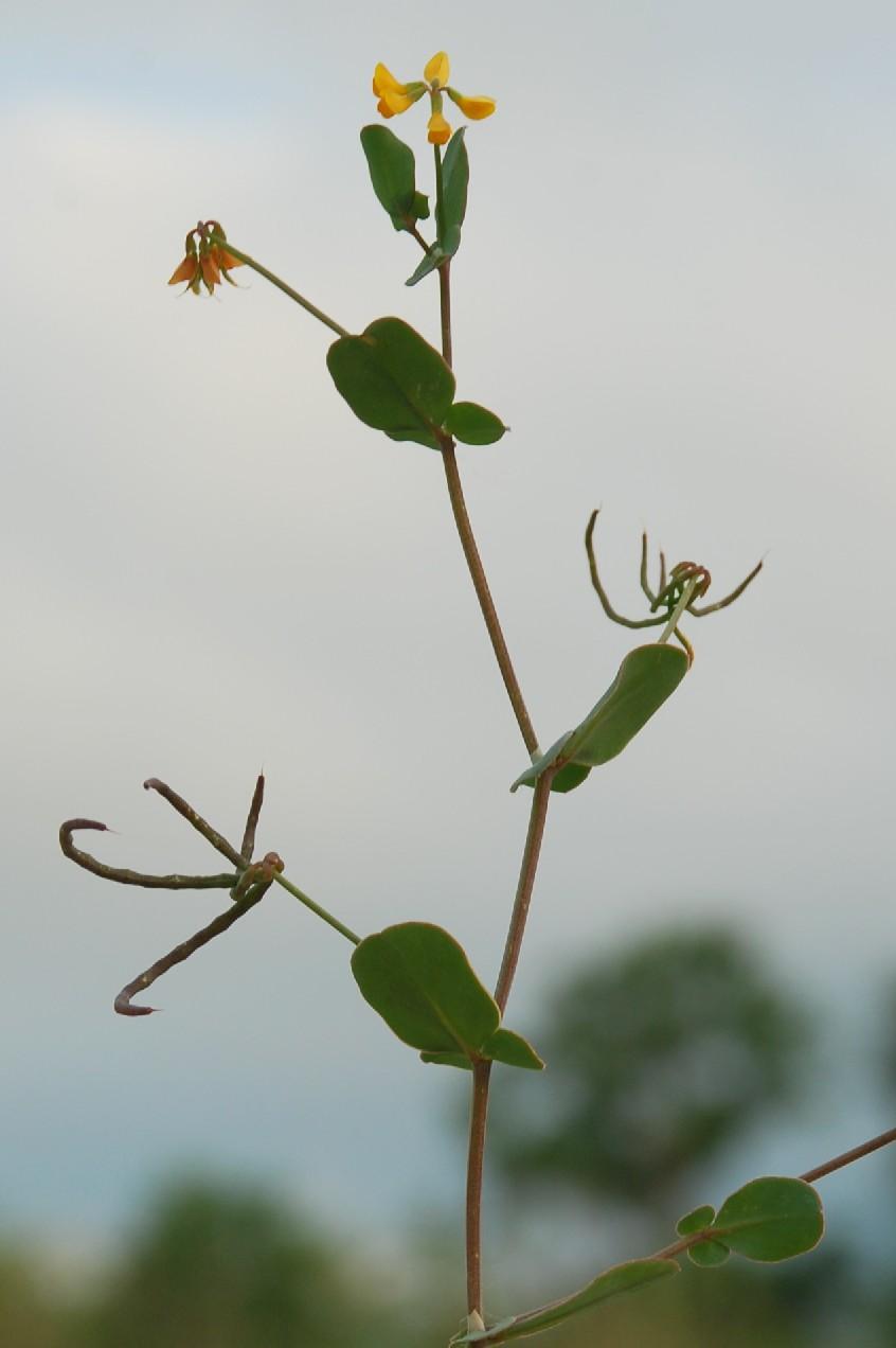 Coronilla scorpioides 12