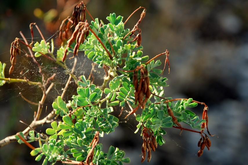Coronilla valentina subsp. valentina 4