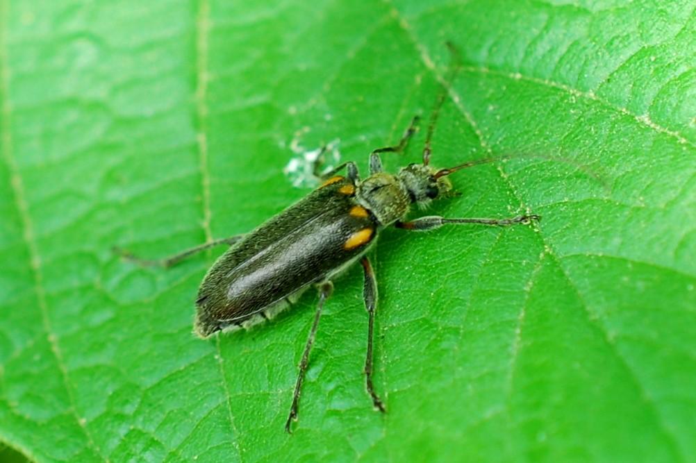 Cortodera humeralis - Cerambycidae