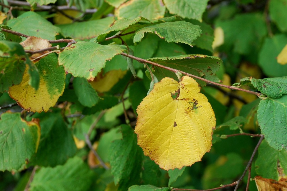Corylus avellana 13
