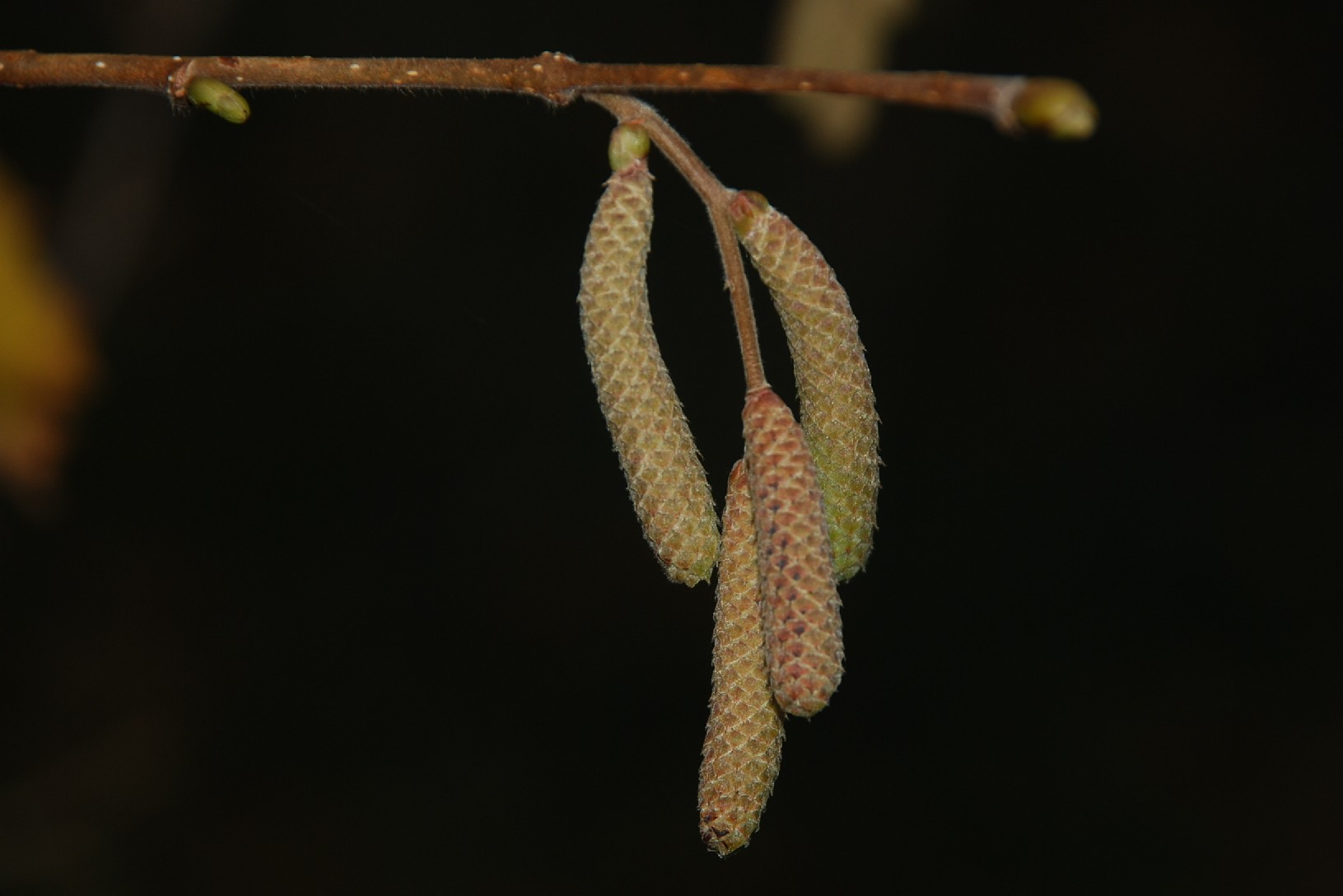 Corylus avellana 15