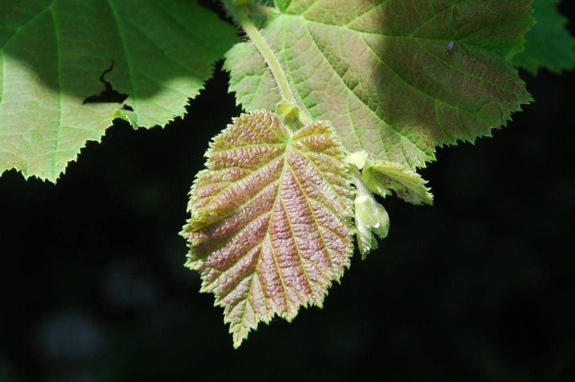 Corylus avellana 20