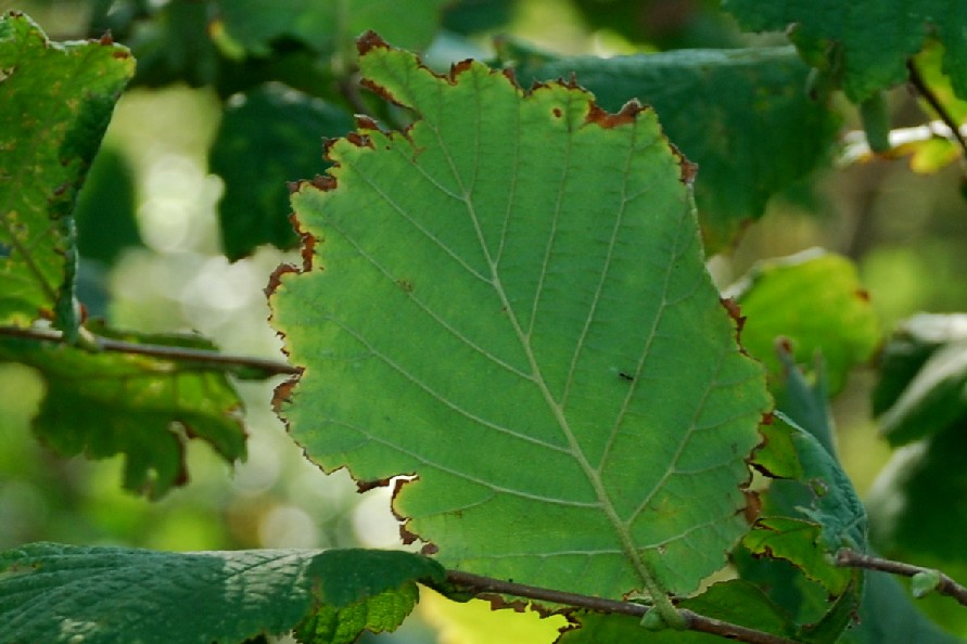 Corylus avellana 6