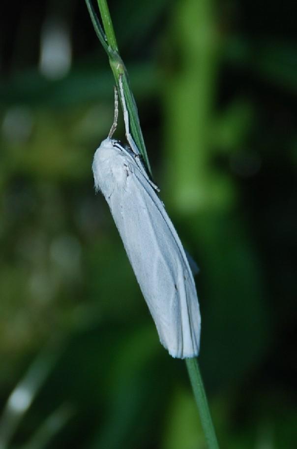 Coscinia cribraria - Arctiidae