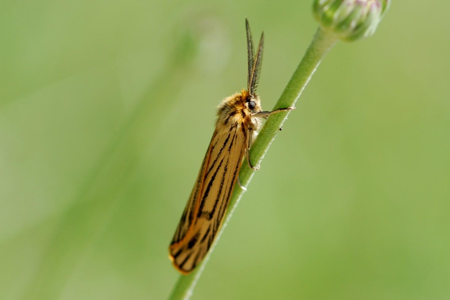 Coscinia striata - Arctiidae