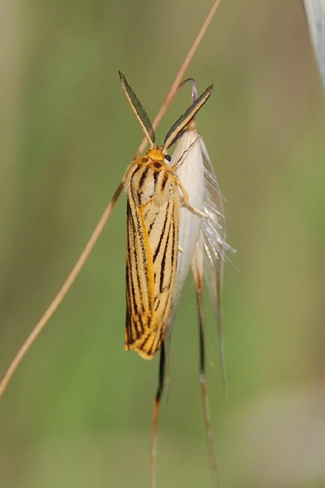 Coscinia striata - Arctiidae 2