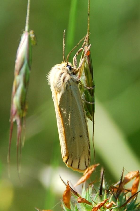 Coscinia striata - Arctiidae 3