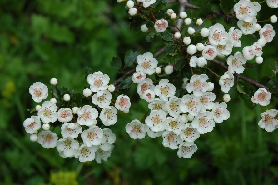 Crataegus laevigata subsp. laevigata
