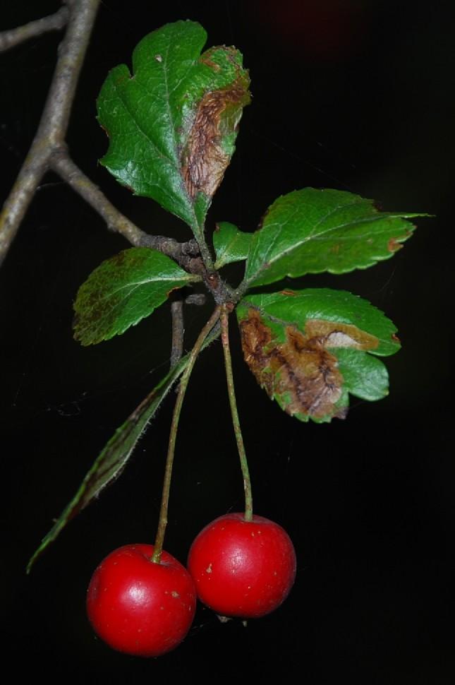 Crataegus laevigata subsp. laevigata 2