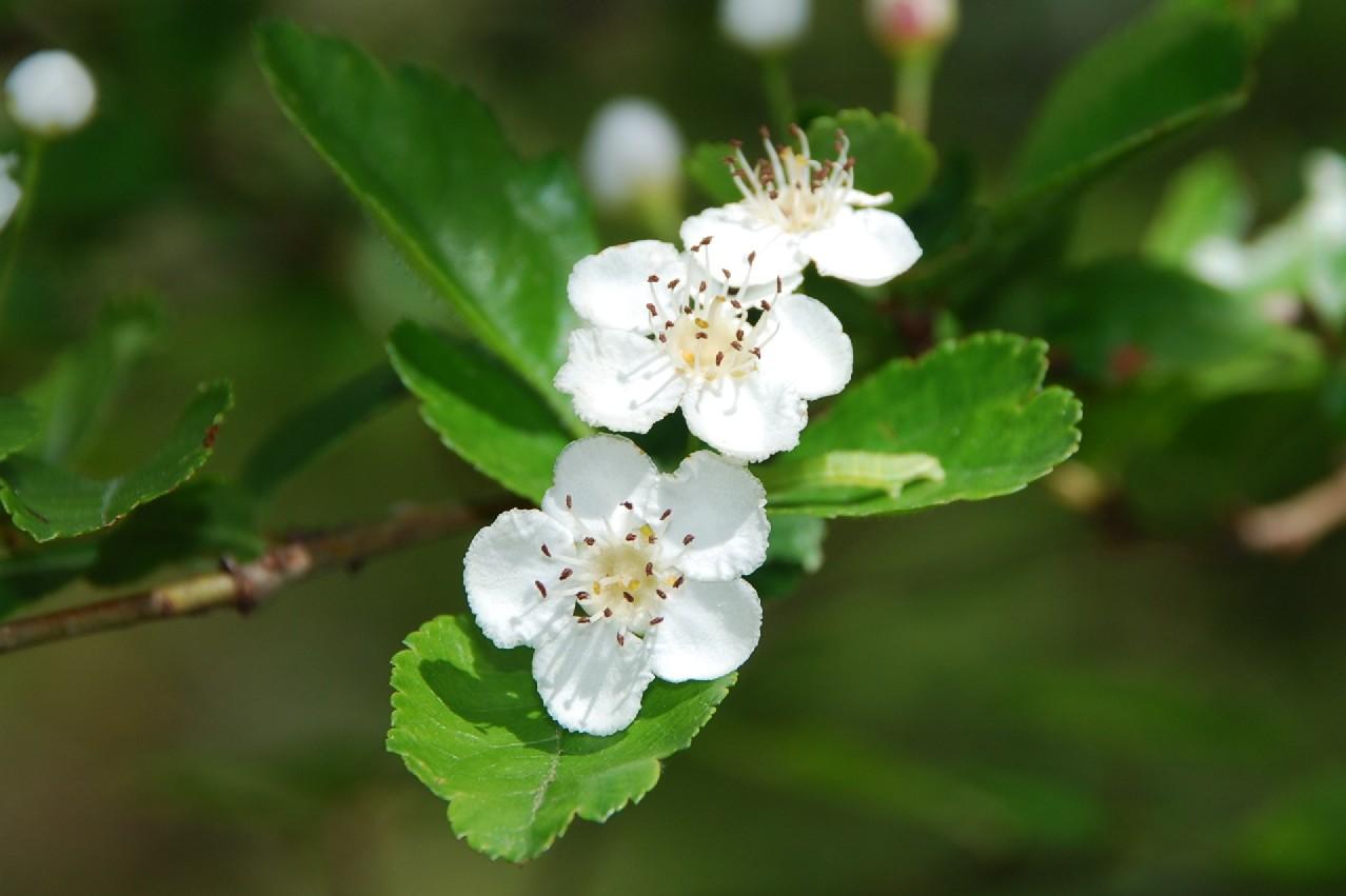 Crataegus laevigata subsp. laevigata 4