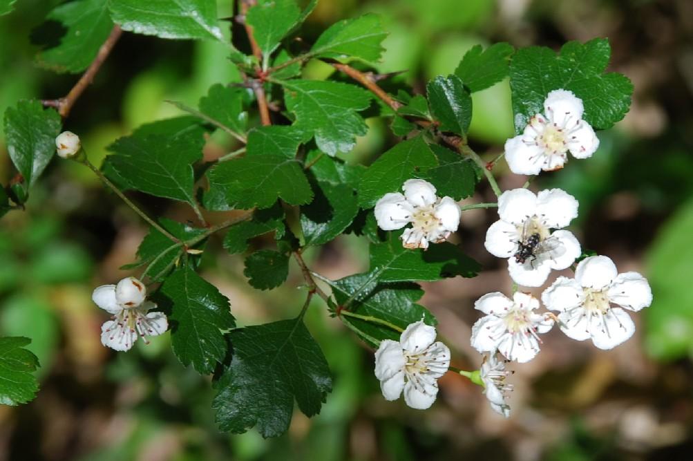 Crataegus laevigata subsp. laevigata 5