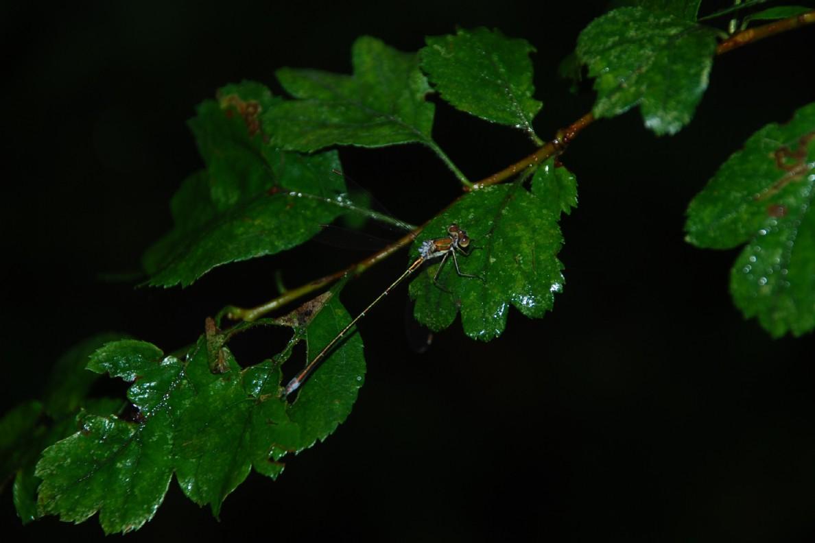 Crataegus laevigata subsp. laevigata 6