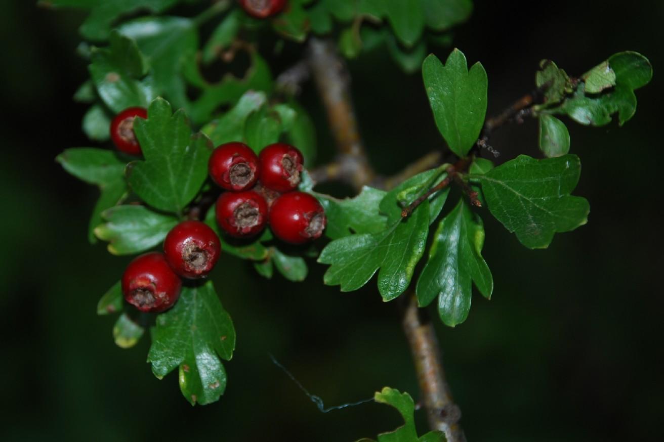 Crataegus laevigata subsp. laevigata 7