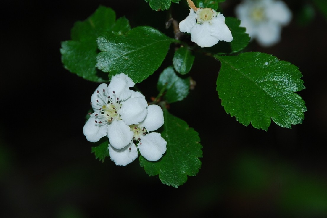 Crataegus laevigata subsp. laevigata 8