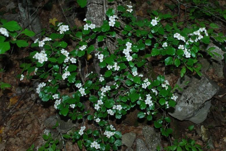 Crataegus laevigata subsp. laevigata 9