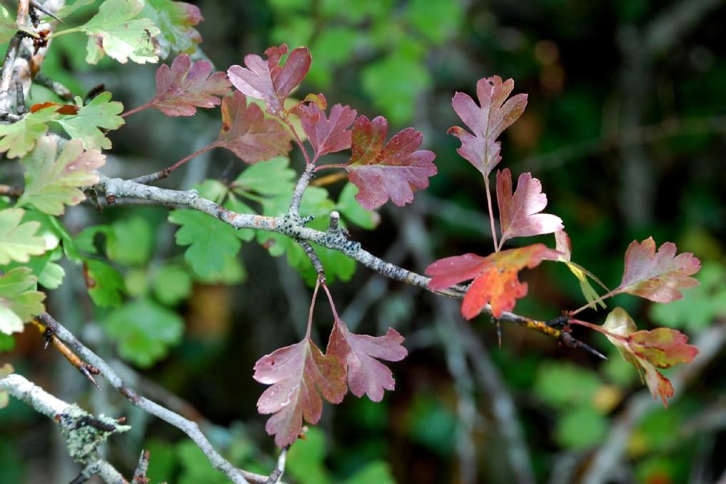 Crataegus monogyna subsp. monogyna 12