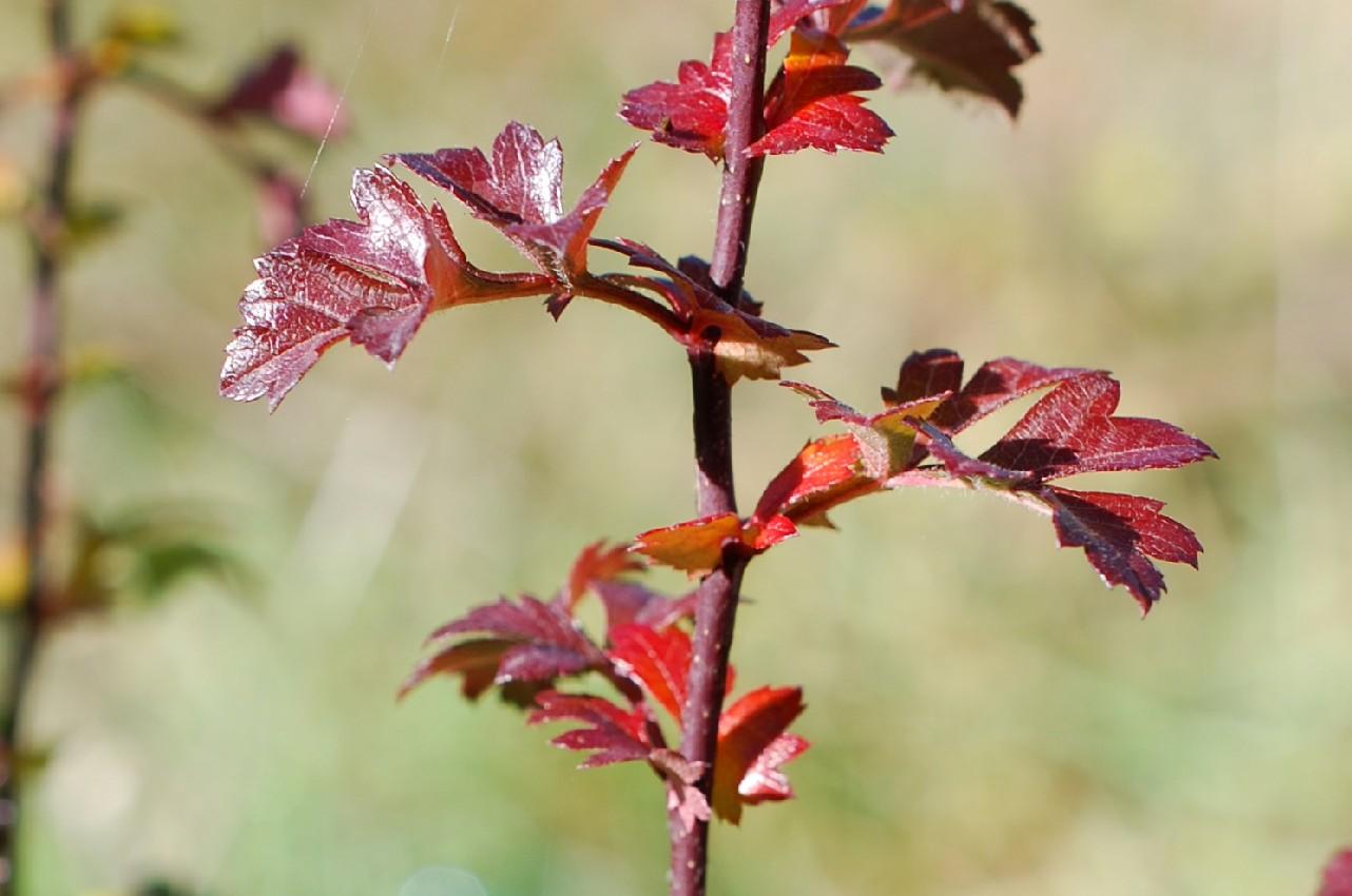 Crataegus monogyna subsp. monogyna 25