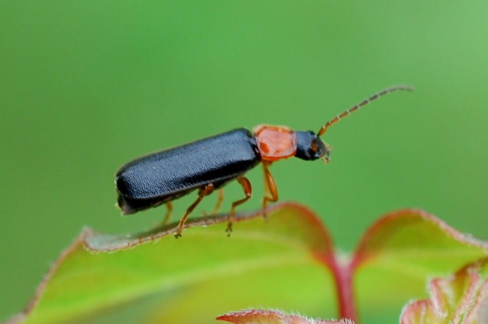 Cratosilis denticollis - Cantharidae