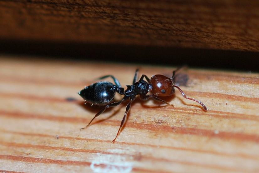 Crematogaster scutellaris - Formicidae