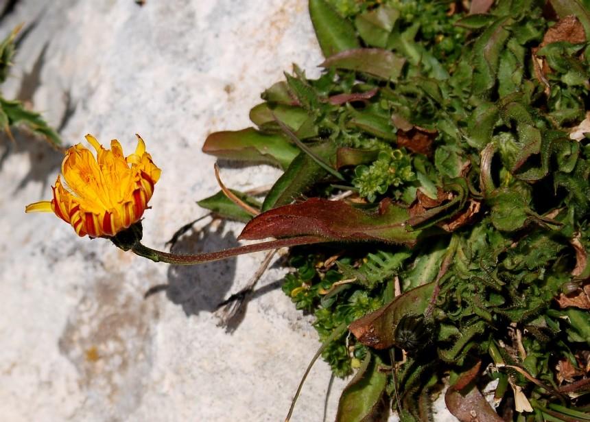 Crepis aurea subsp. glabrescens