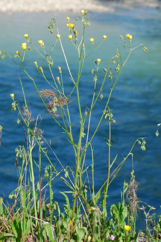 Crepis neglecta subsp. neglecta 15