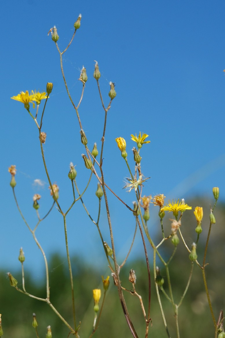 Crepis neglecta subsp. neglecta 21