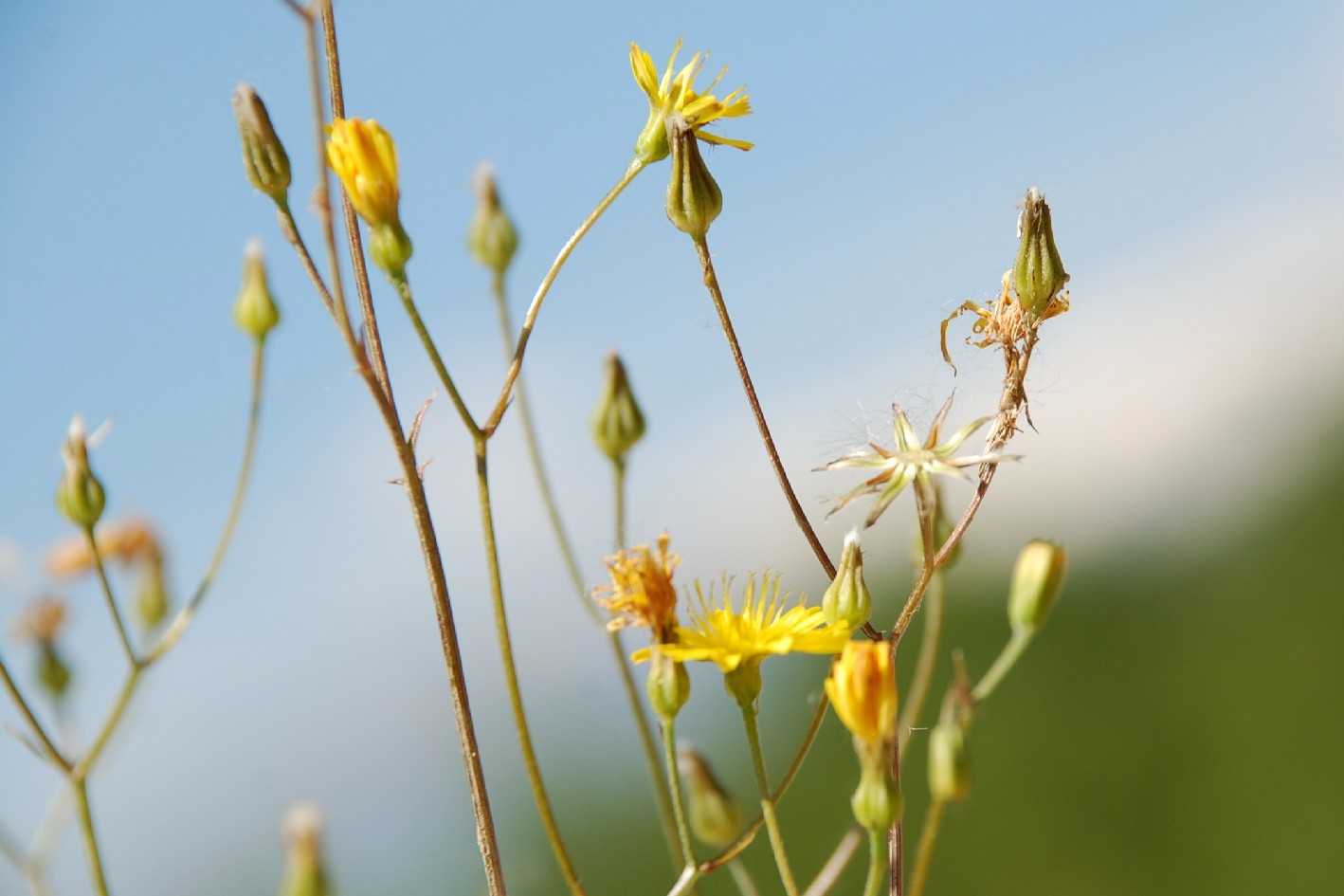 Crepis neglecta subsp. neglecta 23