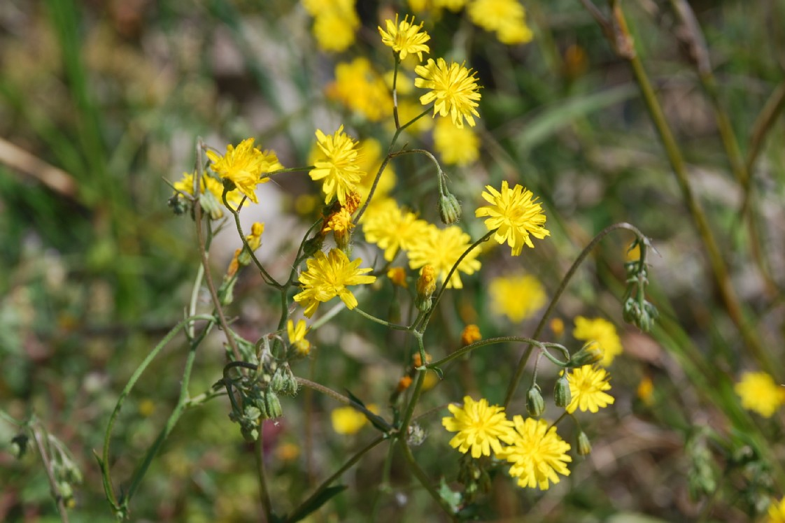 Crepis neglecta subsp. neglecta 26