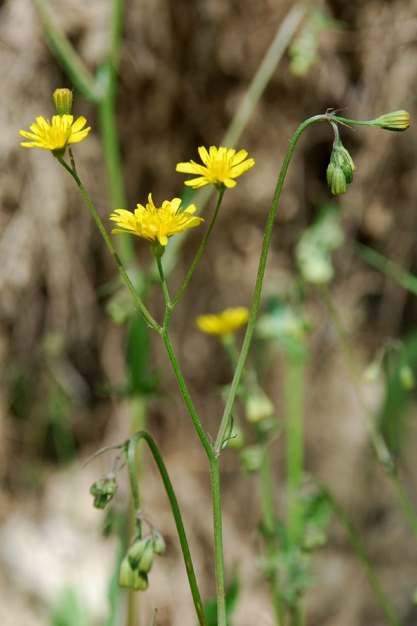 Crepis neglecta subsp. neglecta 3