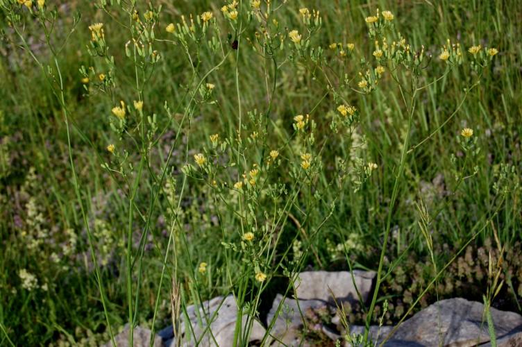 Crepis pulchra 11