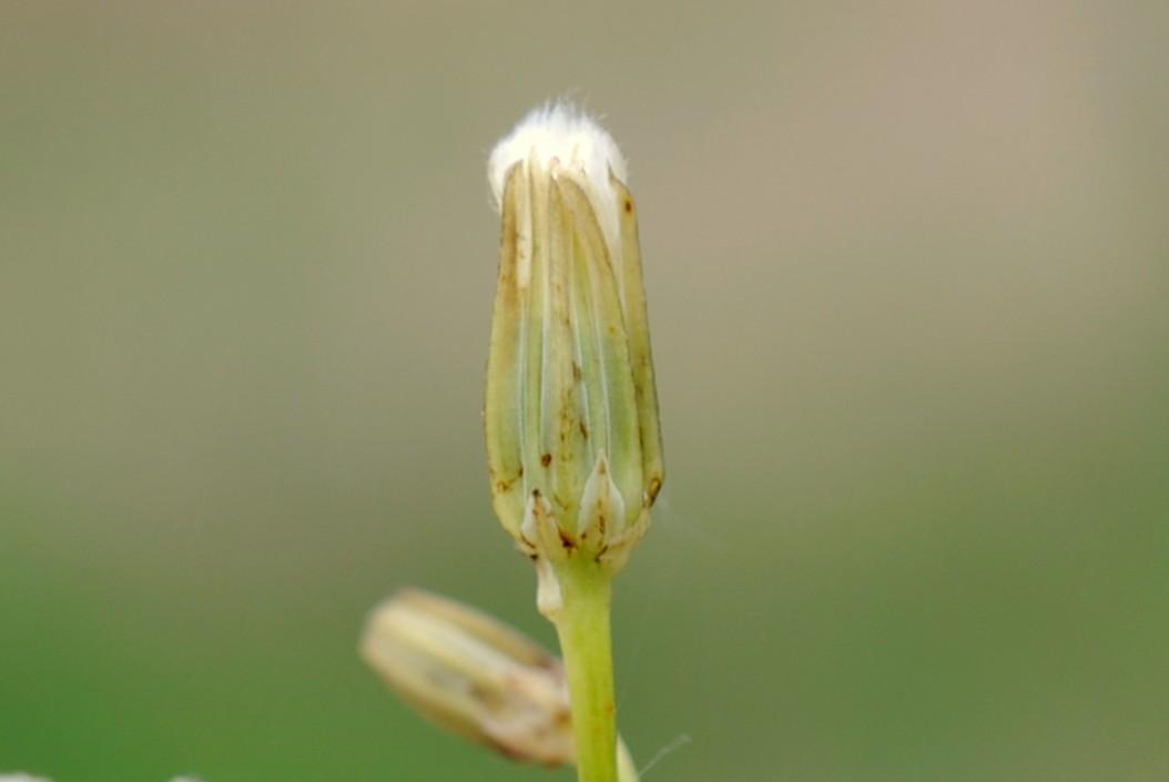 Crepis pulchra 24