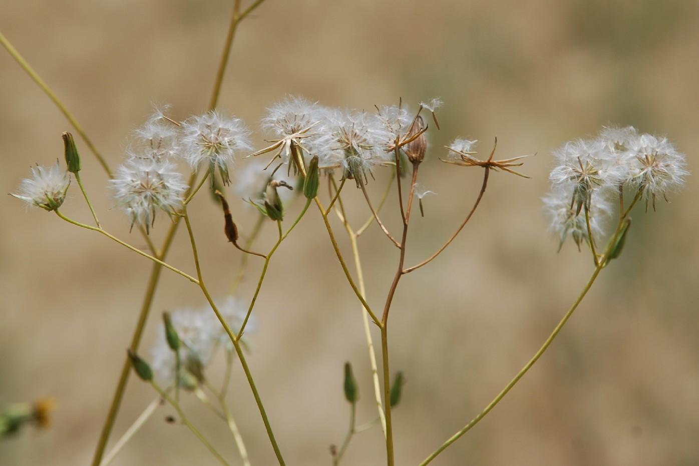 Crepis pulchra 25