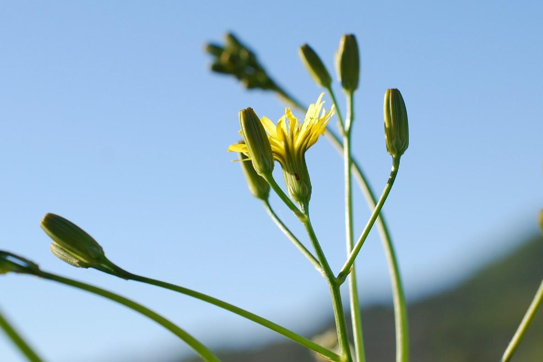 Crepis pulchra 27