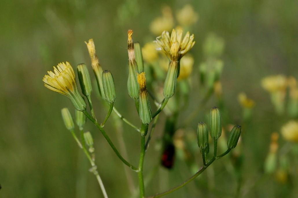 Crepis pulchra 3