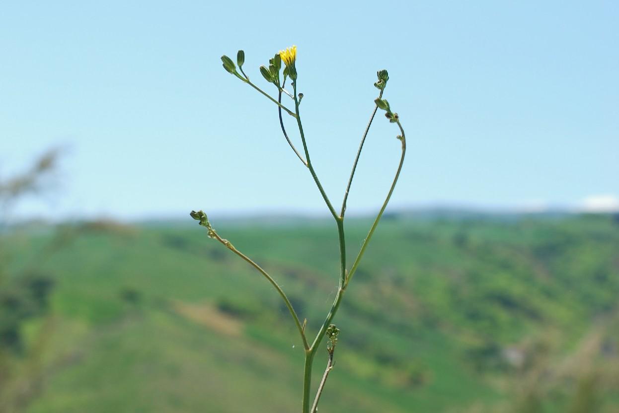 Crepis pulchra 30